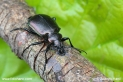 Calosoma_inquisitor_2629.JPG