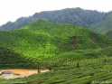 Cameron_Highlands_tea_fields_2.jpg