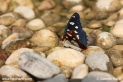 Limenitis_reducta_7130.JPG