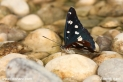 Limenitis_reducta_7131.JPG