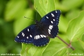 Limenitis_reducta_8421.JPG