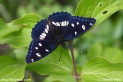 Limenitis_reducta_8424.JPG