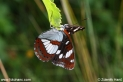 Limenitis_reducta_8620.JPG