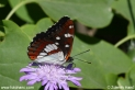 Limenitis_reducta_9115.JPG