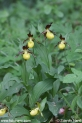 Cypripedium_calceolus_2356.JPG