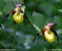 Cypripedium_calceolus_9134.JPG