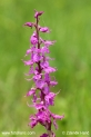 Orchis_mascula_2992.JPG