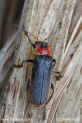 Cantharis_fusca_2640.JPG