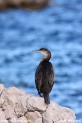 Phalacrocorax_aristotelis_1584.JPG