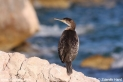 Phalacrocorax_aristotelis_1628.JPG
