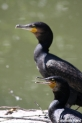 Phalacrocorax_carbo_2039.JPG