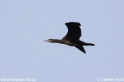Phalacrocorax_carbo_3210.jpg