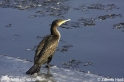 Phalacrocorax_carbo_6072.jpg