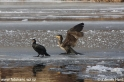 Phalacrocorax_carbo_6250.jpg