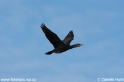 Phalacrocorax_carbo_6254 .jpg