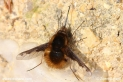 Bombylius_major__2131.JPG
