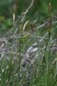Carex_michelii_2370.JPG