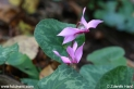 Cyclamen_purpurascens_4039.JPG