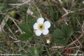 Fragaria_moschata_1343.JPG