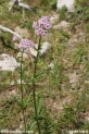 Valeriana_officinalis_0755.JPG