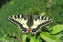 Papilio_machaon.jpg