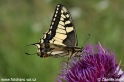 Papilio_machaon_2424.jpg