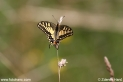 Papilio_machaon_2505.JPG