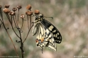 Papilio_machaon_3193.jpg