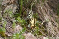 Papilio_machaon_8150.JPG