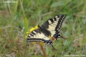 Papilio_machaon_9222.jpg
