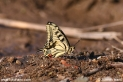 Papilio_machaon_9487.JPG