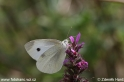 Pieris_rapae_2462.jpg