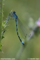 Coenagrion_ornatum_8545.JPG