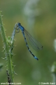 Coenagrion_ornatum_8548.JPG