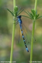 Coenagrion_ornatum_8618.JPG