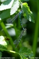 Coenagrion_ornatum_9757.JPG